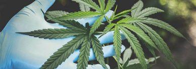 cbd-vs-thc-marijuana-laws-in-nc